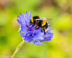 profile bumblebee, blue cornflower (RCB4J) Tags: guvs garscubeestate nature rcb4j ronniebarron scotland sonyslta77v tamronspaf90mmf28dimacro11 universityofglasgowveterinaryschool art bee biodiversity bumblebee insect macro photography pollenation wildflower wildlife