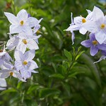 Au jardin, morelle faux jasmin (solanum laxum), Bosdarros, Béarn, Pyrénées Atlantiques, Nouvelle-Aquitaine, France. thumbnail