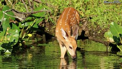 """One sip of this will bathe the drooping spirits in delight"" (Shannon Rose O'Shea) Tags: shannonroseoshea shannonosheawildlifephotography shannonoshea shannon whitetaileddeer deer fawn male odocoileusvirginianus wildwoodlake harrisburg pennsylvania dauphincounty canal water leaves green animal spottedfawn drinking nature wildlife art photo photography photograph wild wildlifephotography wildlifephotographer wildlifephotograph canon canoneos80d canon80d eos80d 80d canon100400mm14556lisiiusm camera outdoors outdoor colorful femalephotographer girlphotographer womanphotographer shootlikeagirl shootwithacamera throughherlens ripples branches"