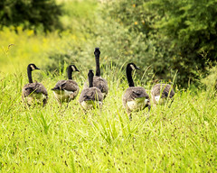 Follow the Leader (jmhutnik) Tags: geese goose feathers westvirginia mcclinticwildlifemanagementcenter