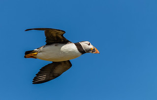 Puffin in flight 7 Isle of May