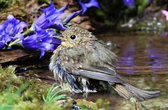 Bagnetto rinfrescante (silvano fabris) Tags: pettirosso canon photonature natura nature wildlife animali animals uccelli birds