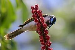 Blue-faced Honeyeater (Alan Gutsell) Tags: bird birds photo alan nature wildlife australianbird australia queenslandbirds goldcoast gardens bluefaced honeyeater blue faced bluefacedhoneyeater