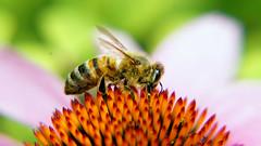 Bee on Echinacea (duaneschermerhorn) Tags: bee honeybee insect flower echinacea red orange closeup macro nature natural