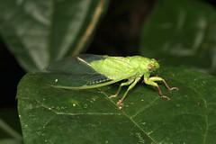 Hemiptera, Stagira sp. (Cicada) - Kibale, Uganda (Nick Dean1) Tags: hemiptera animalia arthropoda arthropod hexapoda hexapod insect insecta stagira cicada kibalenationalpark kibale uganda