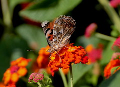 Parece cabreada La Mariposa. (angelalonso4) Tags: canon eos 1300d 70300mm ƒ80 3000 mm 1500 200 nature natura explorar explore