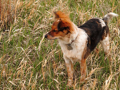 Observation Pose (Kabbri) Tags: animal grass australianshepherd pup puppy standing pose wildgrass dog mammal white pet field meadow brown domestic canine green gold black young outdoor day