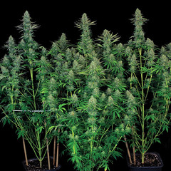 bubblegum-th-seeds-1 (Watcher1999) Tags: bubble gum bubblegum cannabis seeds sativa indica california medical marijuana bob marley growing weed smoking ganja legalize it reggae