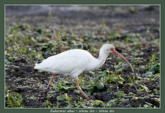 White ibis (Jan H. Boer, Nature photographer) Tags: eudocimusalbus whiteibis witteibis birds waterbirds nature wildlife costarica ranchohumoestancia wetlands nikon d500 afsnikkor200500f56eedvr jan´sphotostream2018