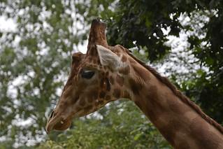 2018.06.19.031 CHAMPREPUS - Parc animalier - Girafes