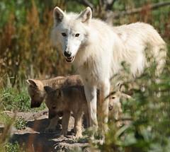 hudsonbay wolf Hoenderdaell JN6A7190 (j.a.kok) Tags: wolf wolfpup wittewolf whitewolf hudsonbaywolf canislupushudsonicus canine hoenderdaell hoenderdael animal canada amerika america mammal zoogdier dier predator