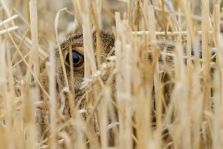 Hare eye be