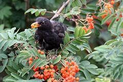 Blackbird (NTG842) Tags: blackbird