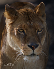 Josie (yadrad) Tags: pantheraleo lion africanlion carnivore bigcats dartmoorzoo dartmoorzoologicalpark ngc animal zoo sparkwell lioness