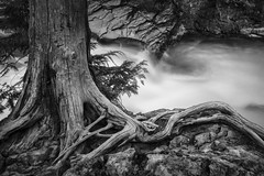 Roots into Rock (Thomas Pohlig) Tags: stream creek water longexposure trees tree rocks root roots glacier glaciernationalpark nationalparks parks montana blackandwhite monochrome mono landscape