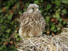 Kestrel Juv (Diko G.W.) Tags: kestrel eastyorkshire burtonagnes raptor birdsofprey nikonp900 ngc