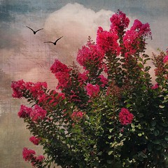 A summer day. (jeanne.marie.) Tags: iphoneography iphone7plus flying silhouettes birds textured sky clouds pink crepemyrtle summer