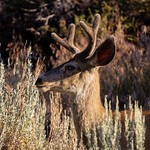Four Point Sierra Mule Deer I Came Across This Morning. Flora and Fauna. thumbnail