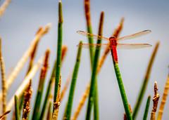 Lake Seminole Park Dragonfly (dmg_rockroach) Tags: dragonfly lake seminole park 7d canon tamron bug canon7d florida wildlife canoneos eos