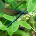 Calopteryx virgo / Blauflügel Prachtlibelle - 20180722 - P1120348
