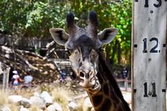 マサイキリン (yuki_alm_misa) Tags: マサイキリン キリン masaigiraffe giraffe ロサンゼルス動物園 zoo thelosangeleszoo 動物園