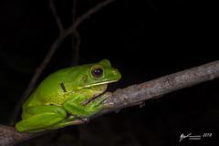 White-lipped Tree Frog (R. Francis) Tags: litoriainfrafrenata nyctimystesinfrafrenatus capeyork capeyorkpeninsula ryanfrancis ryanfrancisphotography whitelippedtreefrog qld queensland northqueensland