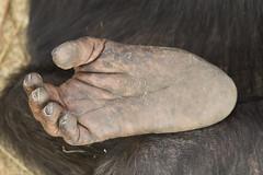 Chimpansee - Safaripark Beekse Bergen - Hilvarenbeek (Jan de Neijs Photography) Tags: dierentuin zoo tamron tamron150600 150600 dierenpark nl holland thenetherlands dieniederlande diergaarde g2 animal dier beeksebergen safaripark safariparkbeeksebergen hilvarenbeek chimpansee aap ape noordbrabant sbb bigfoot voet feet chimp