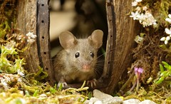 George the mouse in a log pile house (14) (Simon Dell Photography) Tags: simon dell photography sheffield yourkshire old english garden summer fruits berries berrys house mouse log pile wood stack moss cute funny cards posters shirebrook valley 2018 july wild wildlife animal rodent nature watching door home george mildred