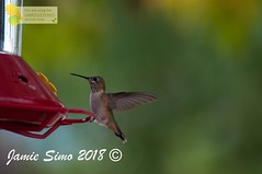 Rufous Hummingbird female (ironekilz) Tags: chatfieldstatepark