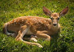 All the better to hear you with my deer (sampost) Tags: wildlife bambi bigears luckysnapshot babydeer