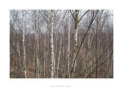 (Tho. Z) Tags: birch birches tree trees neuseenland leipzigertieflandsbucht sachsen deutschland birken bäume landschaft landscape february winter 32