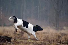 Drenthe (The Netherlands) - Anloo - De Strubben-Kniphorstbosch - Cows - 3 (Björn_Roose) Tags: bjornroose björnroose drenthe nederland netherlands niederlände paysbas destrubbenkniphorstbosch animal dier cows koeien heath heide anloo