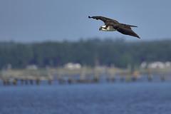 _A734987 (bram-sowers) Tags: sonyfe2470gm sonyfe100400mmgm sonya7riii warsawvirginia rappahannockriver eagle osprey tycho chez