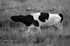 Drenthe (The Netherlands) - Anloo - De Strubben-Kniphorstbosch - Cows - 7 (Björn_Roose) Tags: bjornroose björnroose drenthe anloo destrubbenkniphorstbosch heath heide cows koeien animal dieren nederland netherlands niederlände paysbas