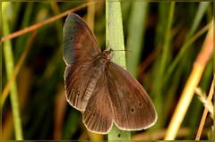 Ringlet butterfly (2) (bobspicturebox) Tags: himalayan balsam lady bird bugs slow worm musk beetle potato capsid shield bug larva snail fungus