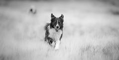 """I'm Back!"" (JJFET) Tags: border collie dog dogs sheepdog herding"