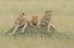 Male Lions - Panthera leo (rosebudl1959) Tags: 2018 kenya masaimara zebraplains topiplainsboys