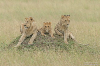 Male Lions - Panthera leo