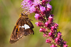 Silver-Spotted Skipper (mnolen2) Tags: butterfly skipper nature