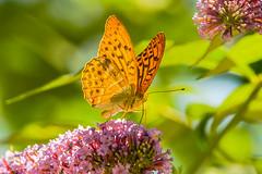 butterfly (a7m2) Tags: vienna schönbrunn tierpark hietzing natur fauna insekten travel besucher park wiese
