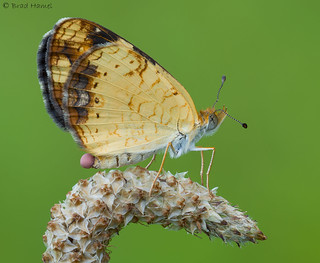 A pearl crescent butterfly with a cherry on top