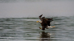 2018.06.23.0821 Eagle Making Grab (Brunswick Forge) Tags: 2018 virginia grouped water bird birds outdoor outdoors wildlife nature summer animals animalportraits nikond500 tamron150600mm animal commented favorited eagle eagles