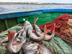 Mazara del Vallo - Italy (melqart80) Tags: mazara italy pescidelmediterraneo mediterraneo pesci pagro prsci sizilien