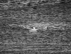 Calm and relaxed in windy waters. (Stiltje i själen i oroligt vatten.) (Ia Löfquist) Tags: crete kreta summer sommar sea hav swim bada koutsounari stiltje fs180826 fotosondag fotosöndag