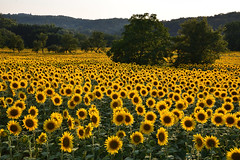 Un champ inondé de Soleils (Excalibur67) Tags: nikon d750 sigma art globalvision 24105f4dgoshsma paysage landscape campagne champ flowers fleurs tournesol sunflower arbres trees nature jaune yellow alsace