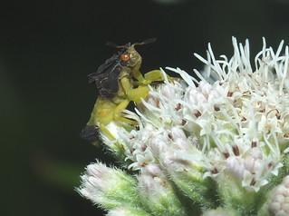 Ambush Bug. DSCF7768