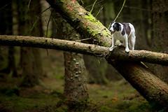 Arborial Odditity (JJFET) Tags: littledoglaughedstories border collie dog dogs sheepdog herding