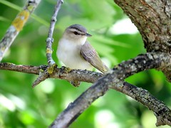 vireo aux yeux rouges (red-eyed vireo) (gillesC) Tags: vireoolivaceus
