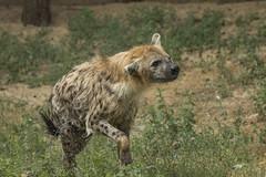 Gevlekte Hyena - Safaripark Beekse Bergen - Hilvarenbeek (Jan de Neijs Photography) Tags: dierentuin zoo tamron tamron150600 150600 dierenpark nl holland thenetherlands dieniederlande utrecht diergaarde g2 animal dier beeksebergen safaripark safariparkbeeksebergen hilvarenbeek sbb gevlektehyena hyena crocutacrocuta