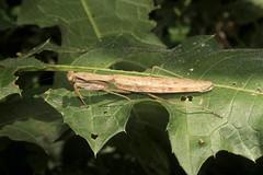 Mantidae sp. (Praying Mantis) - Kibale, Uganda (Nick Dean1) Tags: animalia arthropoda arthropod hexapoda hexapod insect insecta mantodea mantidae prayingmantis mantis kibalenationalpark kibale uganda